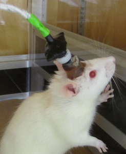 Awake rat electrochemical recording