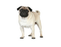 Pug - Dog Breed ~ Edible Icing Image