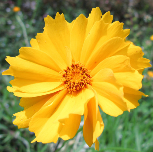 Coreopsis Flower Essence