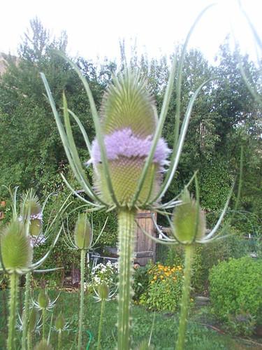 Teasel Flower Essence