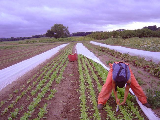 harvesting-greens-2011.jpg