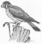 Hawk Pencil Sketch by Craig Cassell, a quadraplegic artist who draws with his mouth.