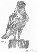 Red-Tailed Hawk Pencil Sketch by Craig Cassell, a quadraplegic artist who draws with his mouth.