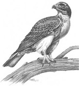 Hawk On Alert Pencil Sketch by Craig Cassell, a quadraplegic artist who draws with his mouth.