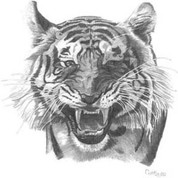 Tiger Pencil Sketch by Craig Cassell, a quadraplegic artist who draws with his mouth.