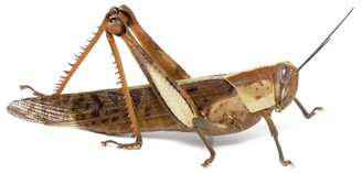 Giant Grasshopper (adult female)