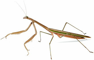 Purple winded Mantis (adult female)