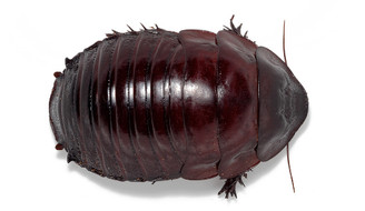 Giant Burrowing Cockroach (Macropanesthia rhinoceros)