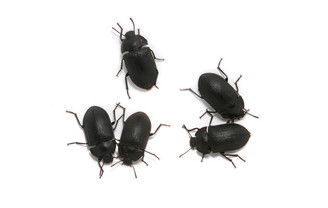 Adult Mallee Darkling Beetles