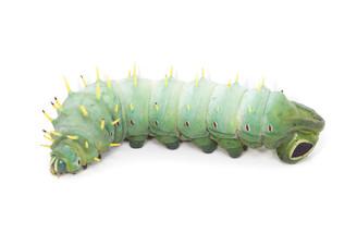 Hercules Moth Caterpillars (Coscinocera hercules)