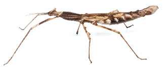 Crowned Stick Insect - Lichen form (Onchestus rentzi)