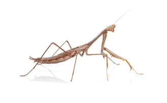 Grass Mantis (Archimantis latistyla)