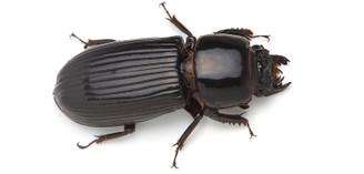 Giant Bess Beetle (Mastachilus sp.)