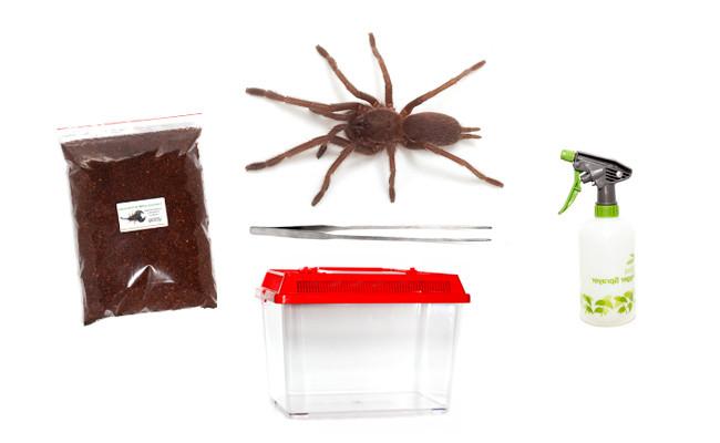 This kit contains one juvenile (unsexed) Tarantula