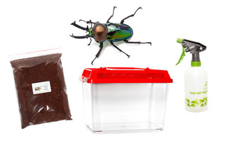 Rainbow Stag Beetle (Emerald form) Kit - save 10%