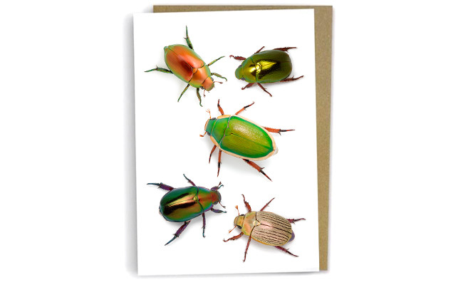 Christmas beetles by Alan Henderson (Minibeast Wildlife)