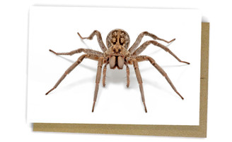 Wolf Spider by Alan Henderson (Minibeast Wildlife)