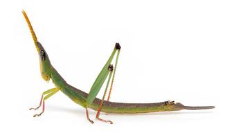 Matchstick Grasshopper (Bundinja sp)