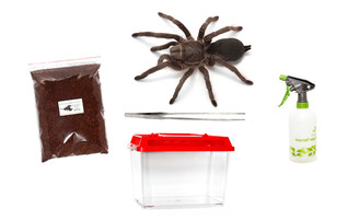 Featherleg Tarantula Starter Kit (Selenotypus sp. Carbine)