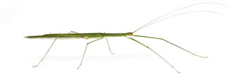Rentz's Stick Insect adult female