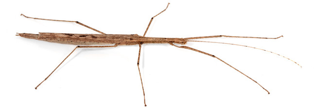 Cyclone Larry Stick insect Adult female