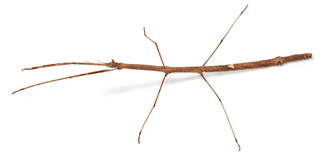 Living Twig adult female