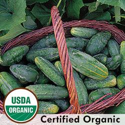 Bushy Cucumber Organic Seeds - Seed Savers Exchange | Amish Country Store in Branson, Missouri