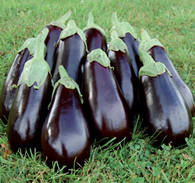 Florida High Bush Eggplant