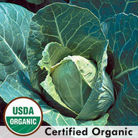 Early Jersey Wakefield Cabbage Organic