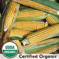 Golden Bantam Corn Organic