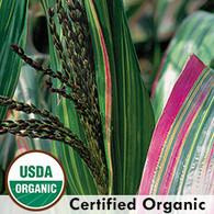 Japonica Striped Maize Organic