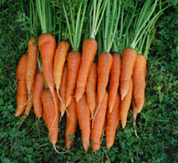 St. Valery Carrot