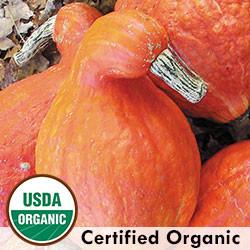 squash cucurbita maxima pancake Cucurbita maxima $299 to $7650 sku: superb banana squash with thick sweet flesh seed savers exchange 3094 north winn road decorah.