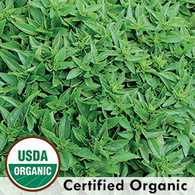 Globe Basil Organic