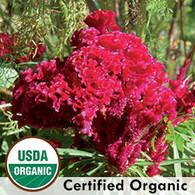 Amish Cockscomb Organic