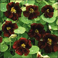 Black Velvet Nasturtium