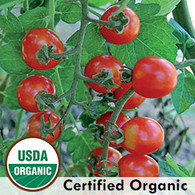 Mexico Midget Tomato Organic