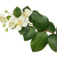 Myrtle,  Myrtus communis
