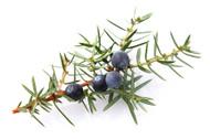 Juniper, Juniperus communis