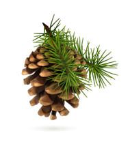 Pine, Pinus slyvestris