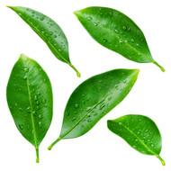 Petitgrain, Citrus X aurantium L amara