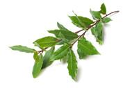 Ravintsara, Cinnamomum camphora