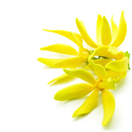 Ylang Ylang, Cananga Odorata- February Special 15% off!