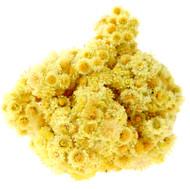 Helichrysum, Helichrysum italicum