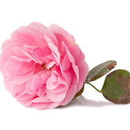Rose Absolute, Rosa X Damascena- February Special 15% off!