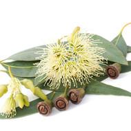 Eucalyptus, Eucalyptus globulus