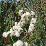 Peppermint Eucalyptus, Eucalyptus radiata