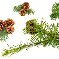 Fir Needle, Abies balsamea- September Special 15% off