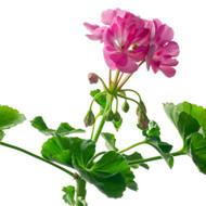 Geranium, Pelargonium graveolens