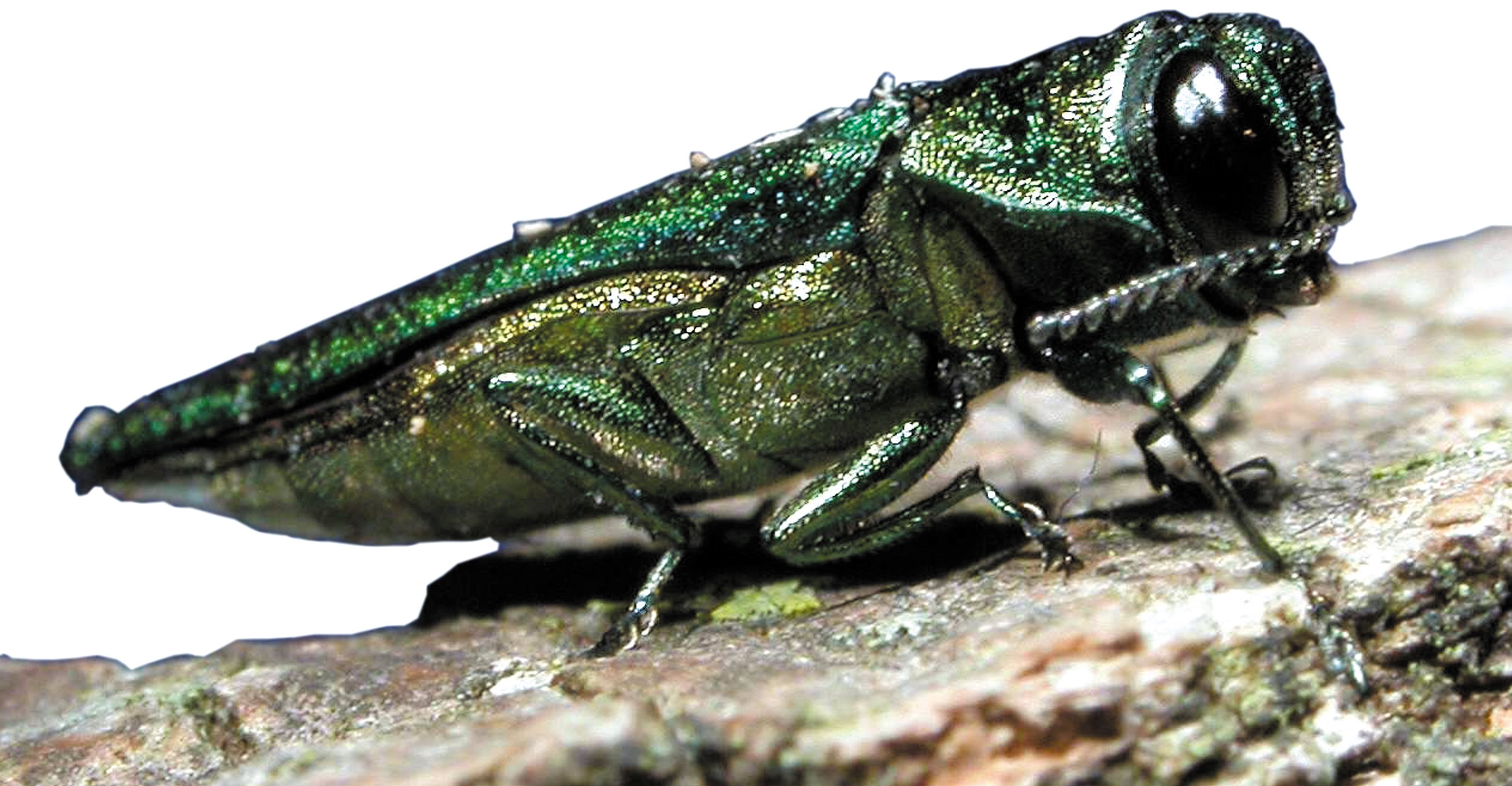 Emerald Ash Borer Pest Control Products and Supplies